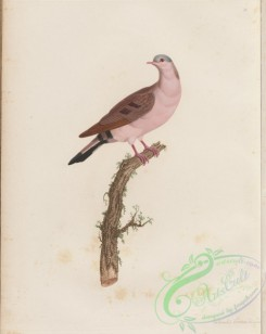 pigeons-00291 - 050-Blue-spotted Wood-Dove, columba afra