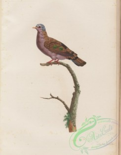 pigeons-00292 - 051-Blue-spotted Wood-Dove, columba afra