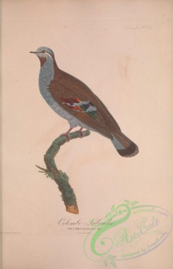 pigeons-00361 - 033-Brush Bronzewing, columba elegans