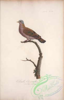 pigeons-00378 - 050-Blue-spotted Wood-Dove, columba afra
