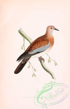 pigeons-00418 - EGYPTIAN TURTLE DOVE