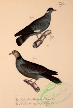 pigeons-00492 - White-collared Pigeon, Dusky Turtle-Dove