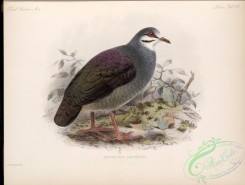pigeons-00505 - Purplish-backed Quail-Dove