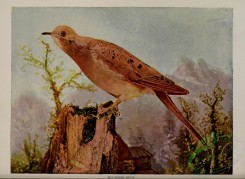 pigeons-00532 - MOURNING DOVE
