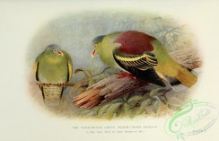 pigeons-00555 - Thick-billed Green Pigeon