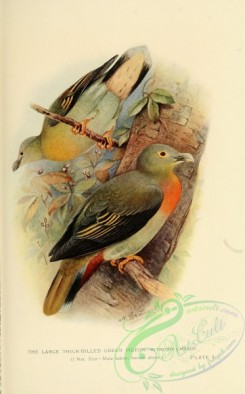 pigeons-00566 - Large Thick-billed Green Pigeon