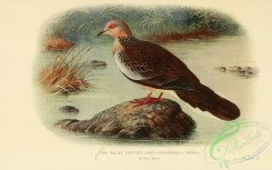 pigeons-00569 - Malay Spotted Dove