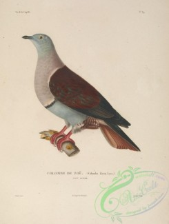 pigeons-00664 - Banded Imperial-Pigeon
