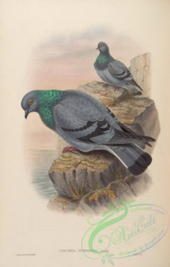 pigeons-00681 - Indian Rock-Pigeon