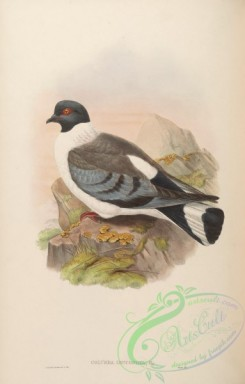 pigeons-00685 - White-bellied Pigeon