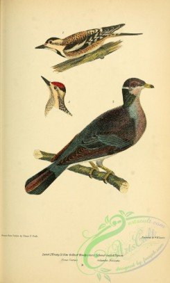 pigeons-00733 - Yellow-bellied Woodpecke, Band-tailed Pigeon