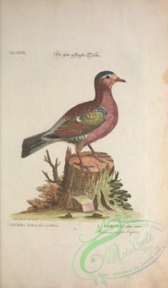 pigeons-00766 - Green-winged Pigeon