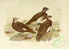pigeons-00800 - White-quilled Rock-Pigeon, Partridge Bronze-Wing, Smith's Partridge Bronze-Wing