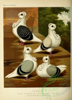 pigeons-00930 - Blue Chequer Turbit Pigeon, Silver Turbit Pigeon, Blue Turbit Pigeon