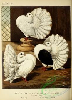 pigeons-00956 - White Lace Scotch Fantail or Broad-tailed Shaker Pigeon, White Scotch Fantail or Broad-tailed Shaker Pigeon, Black-saddle Back Scotch Fantail or Broad-tailed Shaker Pigeon