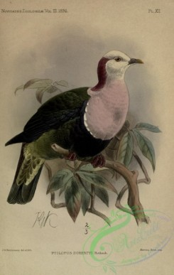 pigeons-01034 - Red-naped Fruit-Dove