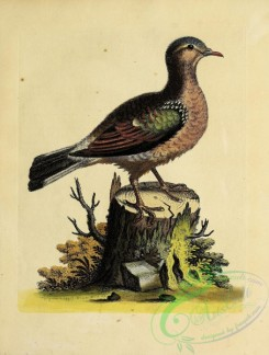 pigeons-01085 - 014-Green-winged Dove, columba indica