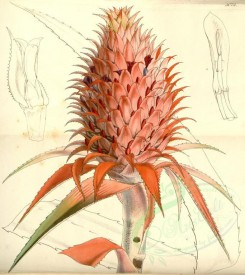 pineapple-00003 - 5025-ananas bracteatus, Scarlet Pine-apple [3484x3912]