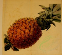 pineapple-00008 - Waved-leaved Pine-Apple [2656x2372]