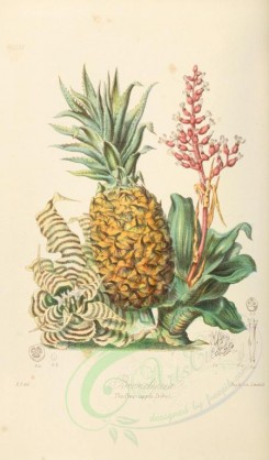 pineapple-00010 - Pine-apple [2181x3717]
