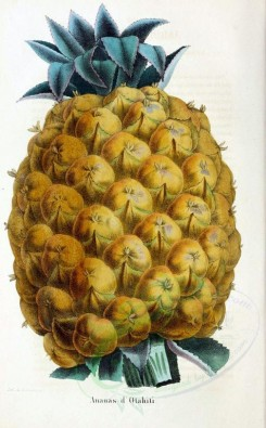 pineapple-00011 - Ananas, Pine-apple [2150x3467]