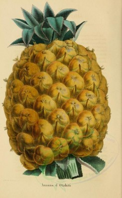 pineapple-00012 - Ananas, Pine-apple [2150x3467]