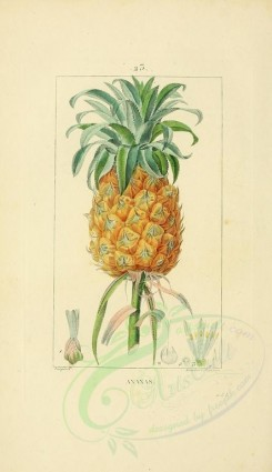 pineapple-00016 - Ananas, Pine-apple [2245x3889]