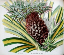 pineapple-00017 - ananas porteana, Pine-apple [2026x1738]