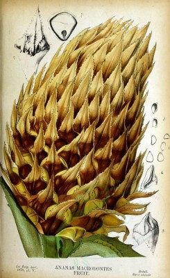 pineapple-00019 - ananas macrodontes, Pine-apple, 2 [2858x4668]