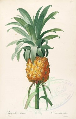 pineapple-00021 - Ananas, Pine-apple [3963x6207]
