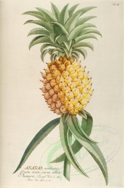 pineapple-00022 - Ananas, Pine-apple [2505x3801]