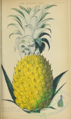 pineapple-00026 - Queen Pineapple
