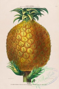 pineapple-00027 - Ananas, Pineapple