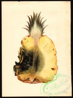 pineapple-00038 - 7373 - Ananas comosus - Pineapple