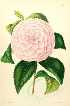 pink_flowers-00007 - Camellia Mrs Dombrain [1795x2703]