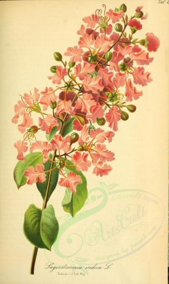 pink_flowers-00028 - lagerstroemia indica [2296x3837]