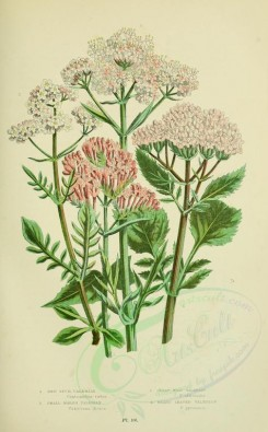 pink_flowers-00041 - 030-RED SPUR-VALERIAN, SMALL MARSH VALERIAN, GREAT WILD VALERIAN, HEART LEAVED VALERIAN [2224x3587]