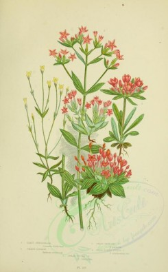 pink_flowers-00051 - 065-LEAST GENTIANELLA, COMMON CENTAURY, DWARF BRANCHED CENTAURY, BROAD LEAVED TUFTED CENTAURY, DWARF TUFTED CENTAURY [2224x3587]