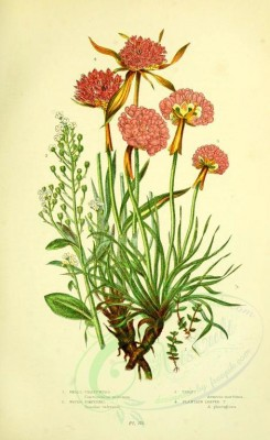 pink_flowers-00135 - Small Chaffweed, Water Pimpernel, Thrift, Plantain Leaved Thrift, centunculus minimus, samolus valerandi, armeria maritima, armeria plantaginea [2193x3577]