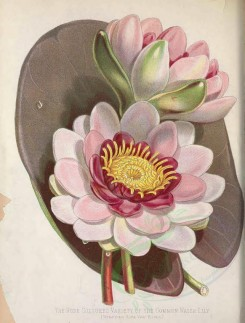 pink_flowers-00146 - Rose Coloured Common Water Lily, nymphoea alba rosea [3391x4470]