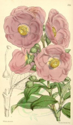 pink_flowers-00315 - 5241-cistus vaginatus, Sheath-leaved Cistus [2043x3478]