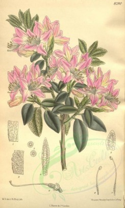 pink_flowers-00431 - 8280-rhododendron coombense [2113x3522]
