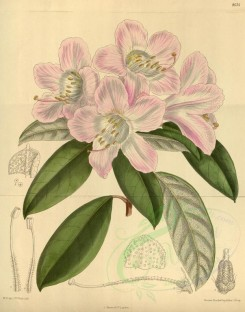 pink_flowers-00466 - 8634-rhododendron carneum [3381x4300]