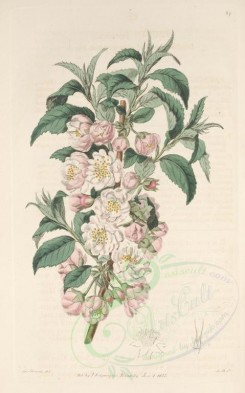 pink_flowers-00544 - 027-prunus japonica, Double-flowered chinese Plum-tree [3092x4955]