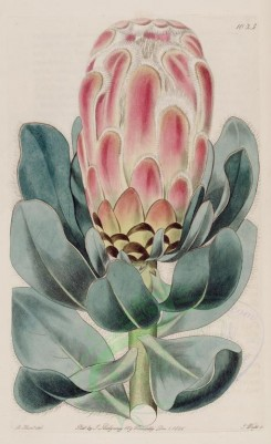 pink_flowers-00679 - 1023-protea villifera, Long-haired Protea [2574x4212]