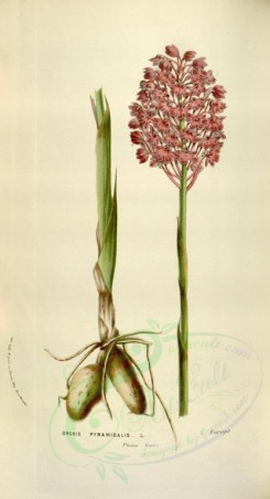 pink_flowers-00717 - orchis pyramidalis [1993x3677]