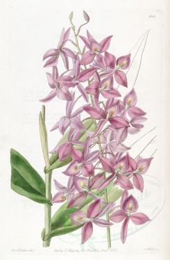pink_flowers-00775 - 1881-epidendrum skinneri, Mr Skinner's Epidendrum [2741x4182]