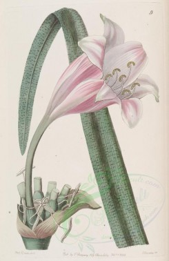 pink_flowers-00847 - 009-crinum variable roseum, Rose-coloured changeable Crinum [2823x4348]