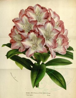 pink_flowers-00907 - rhododendron princess of Wales [3604x4606]