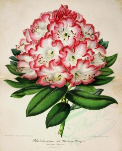 pink_flowers-00981 - rhododendrum madame wagner [4342x5386]